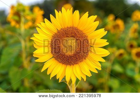 Sunflower Natural Background, Sunflower Blooming In Spring.