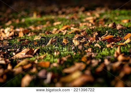 Autumn leave on moss, Moss in forest, dry leaf fallen on green moss floor in autumn season.Contrast between dry and freshness