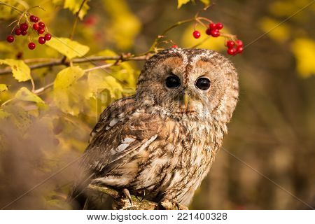 Tawny owl hidden in the forest. Brown owl sitting on tree stump in the dark forest habitat with catch. Beautiful animal in nature. Bird in the forest. Wildlife scene from dark spruce forest.