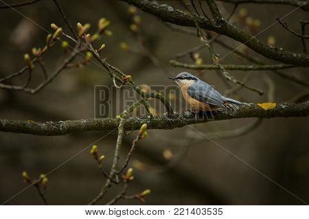Sitta europaea. Expanded throughout Europe. The wild nature of the Czech Republic. Bird on the tree. Spring. From bird life. Free nature.