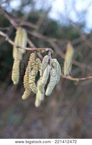 Close up of catkins in a winter garden