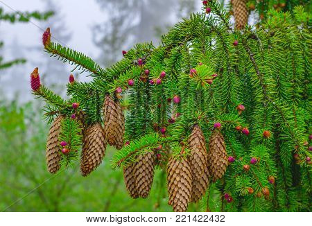 A young branch of spruce with coniferous cones, focused on one pink beautiful new cone against the background of old coniferous cones.