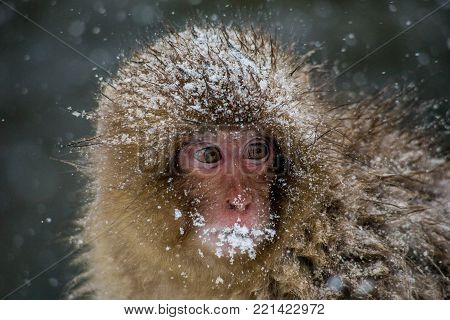 A very young Japanese Macaque, or snow monkey, huddles beside a hot spring, shivering in a heavy snowstorm.  These monkeys are the northern most non-human primates in the world
