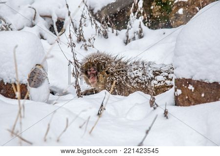 A Japanese Macaque, or snow monkey, clings to a hot water pipe, one of several that feed hot spring water from the mountainside into the many public baths and inns in the nearby village. These monkeys are the northern most non-human primates in the world