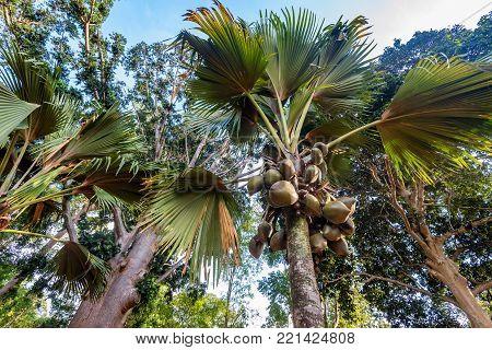 Sea coconut or Lodoicea maldivica also known as coco de mer or double coconut. Female palm