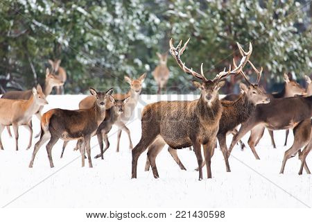 Winter wildlife landscape with noble deers Cervus Elaphus. Many deers in winter. Deer with large Horns with snow on the foreground. Natural habitat
