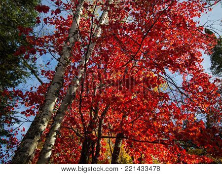 Vibrant Autumn Foliage. Beautiful vibrant fall color on a maple tree ablaze with peak fall color in the Upper Peninsula of Michigan.