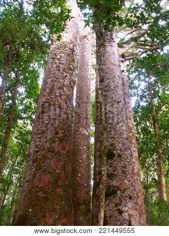 Four Sisters Kauri Trees (Agathis australis) in the Waipoua Forest of New Zealand