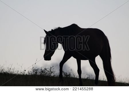 sillhouette of wild horse ear position makes horse look like Unicorn