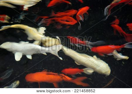 Vague silhouette and contours of white and red carp in black water, abstract design background.
