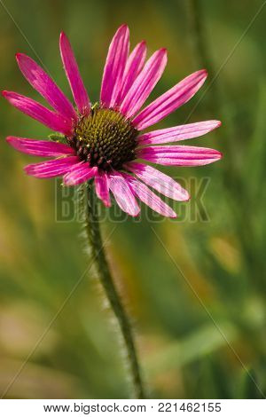 Close up photo of a purple coneflower in the sunlight