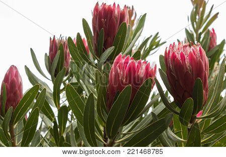 Red large tropical Protea sugarbush flower blossoms against green leaves