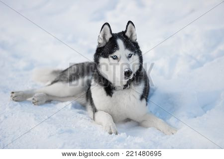 Siberian Husky dog black and white colour with blue eyes in winter on the snow. A pedigreed purebred dog poster
