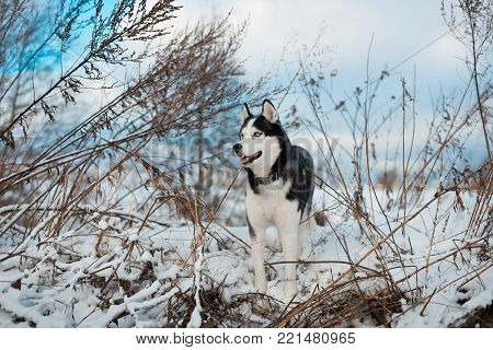 Portrait of Siberian Husky black and white colour with blue eyes outdoors in winter. A pedigreed purebred dog poster