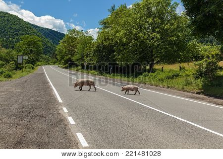 Two light pigs cross the road against the background of trees and mountains. Two pigs cross the road.journey to Georgia