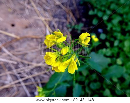 Close up stock photo of bright yellow mustard flower