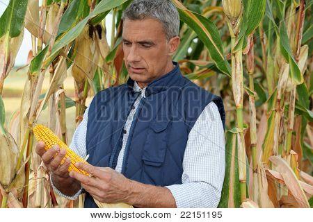 farmer watching a corncob in a cornfield