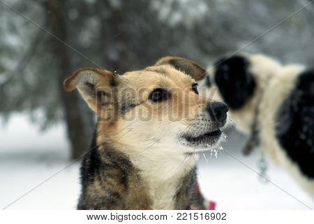 portrait of a mongrel with a attentive look at the background of a blurry winter forest and another dog