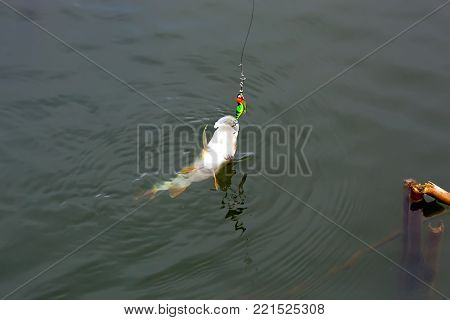 Caught on a spoon-bait perch close up. Astrakhan region. Russia.