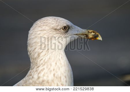 A herring gull in it's third winter plumage, with a dirty beak
