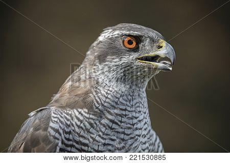 Northern Goshawk With Open Beak Close Up