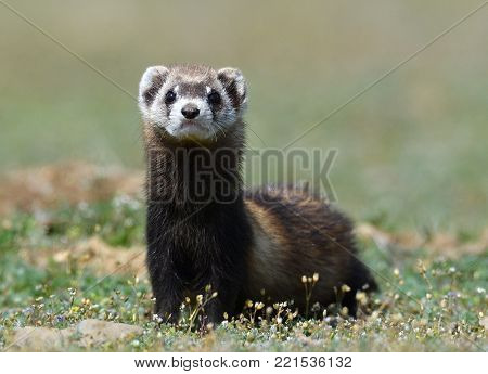 The steppe polecat or masked polecat in natural habitat (Mustela eversmanii)