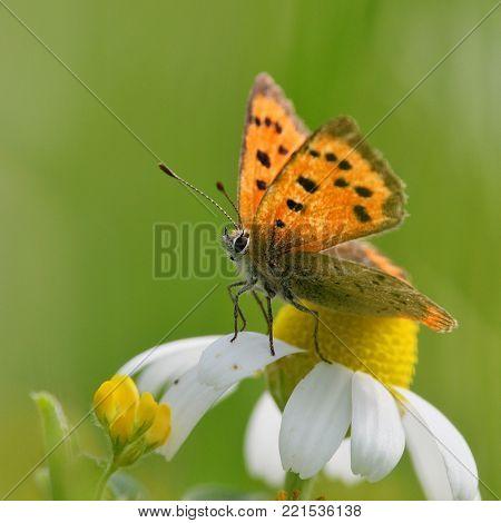 butterfly (lycaena dispar) in natural habitat , sitting on white flower