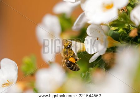 Flying worker honey bee with bee pollen feeding on Bacopa flower, Big yellow balls of collected packed pollen on honeybee's leg