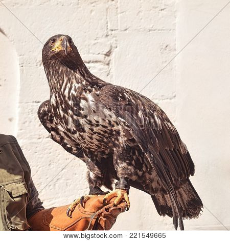 young withe tailed eagle sitting on handler's hand