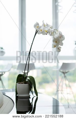 white orchid in a pot. Flowers in a pot. plant in the interior. A pot on a glossy black table against the window. apartment design