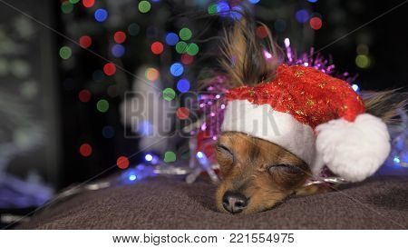 The Toy Terrier is a yellow New Year's dog. A funny dog in a Christmas cap lies and looks around. He falls asleep and wakes up. A background of a fur-tree with shone by lights.
