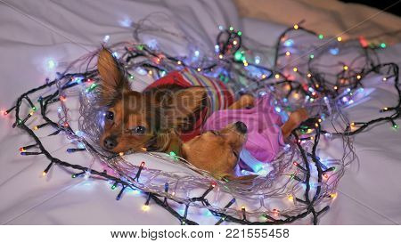 Two Toy Terrier is a yellow New Year's dog. Two dogs lie ridiculously and fall asleep. They are surrounded by garlands and are dressed in children's sliders.