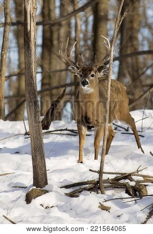 White-tailed deer buck in early winter.  Notable rubs on trees from rut.