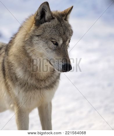 Close up head and shoulders image of a gray wolf in winter.