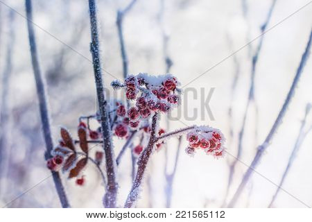 rowanberry covered with snow beautiful toned natural backdrop