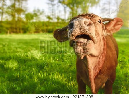 Funny calf with open mouth - Young ginger calf, looking at camera, with its mouth opened and a funny face, on a sunny day of spring.