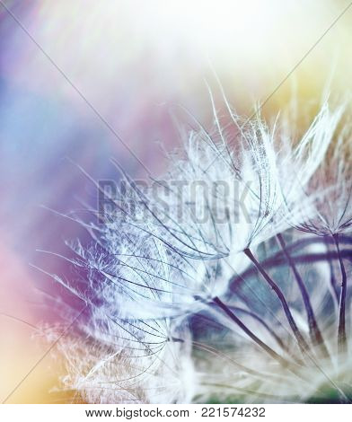 Beautiful dandelion seeds - selective focus on dandelion seeds