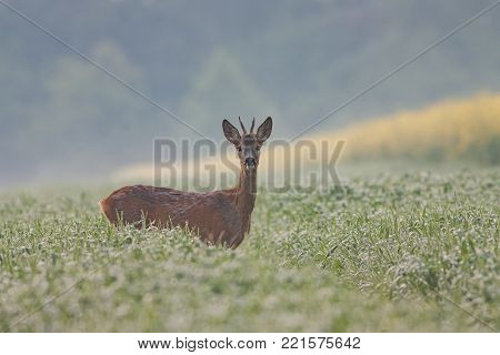 Roe dee, capreolus capreolus, buck in the field covered in dew water drops. Young male wild animal with antlers in wet grass. Morning atmosphere of mist and fog in nature.