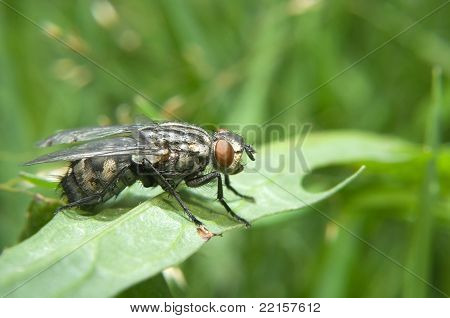 Fly on a blade of grass