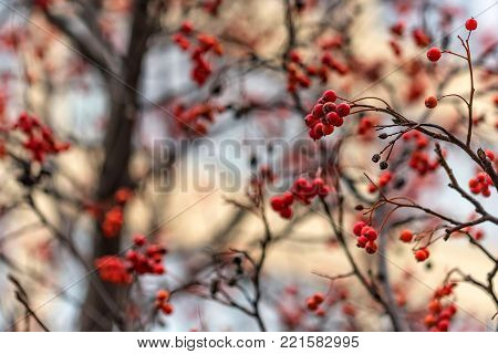 Close-up beautiful bunches of red Sorbus berries on branches outdoors