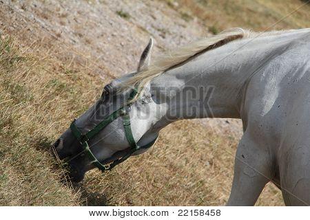 die Lipizzaner Pferde