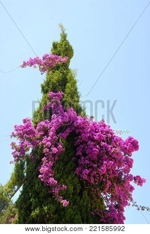 Bougainvillea and thuja growing together against blue sky in Greece on Corfu
