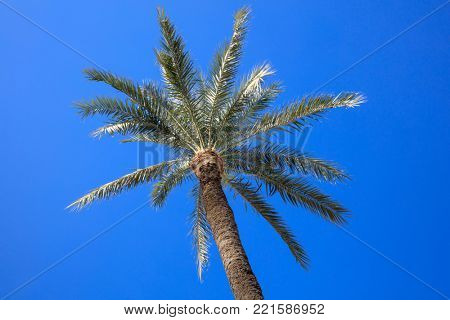 Coconut palm tree with a clear bright blue sky background. Photo from under.