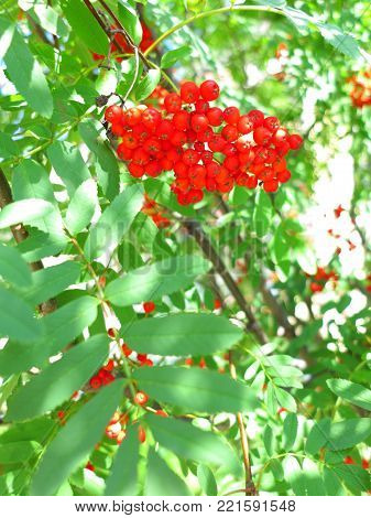 Autumn red rowan berries on a tree. Rowanberry ashberry in the fall in natural setting on a green background. Sorbus aucuparia.
