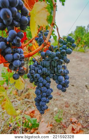 Ripe Dark Red Wine Grape Plant Ready To Harvest, South France
