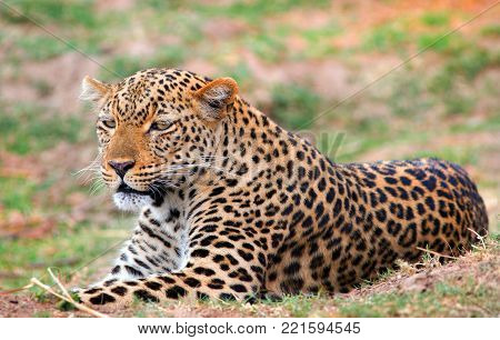 African Leoprd (Panthera Pardus) lying down on the african plains in South Luangwa National Park, Zambia, Southern Africa
