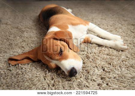 Tired sleeping beagle dog on carpet. Lazy dog at home.