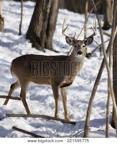 White-tail deer buck in winter.  Trees indicative of rubs from rut behavior