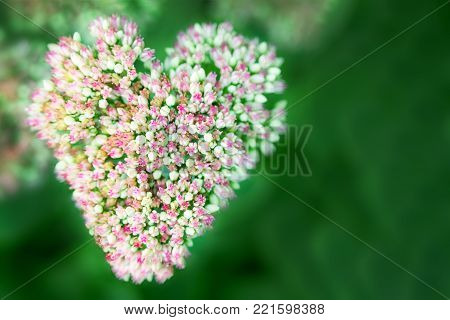 Beautiful decorative garden Sedum Flowers or stonecrop lat. sedum spectabile blossoming at autumn. Heartshaped, love postcard concept. Flower card background. Saint Valentines day greeting card.