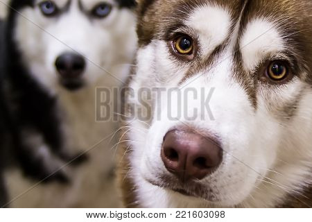 Portrait of a Siberian husky with red hair and yellow eyes. In the background out of focus black and white husky dog with blue eyes. Front view.